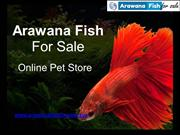 Buy Arowana Fish From Online Fish Store At Attractive Price