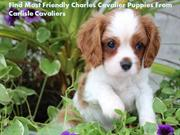 Find Most Friendly Charles Cavalier Puppies From Carlisle Cavaliers