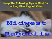 Keep The Following Tips in Mind for Looking Blue Ragdoll Kitten