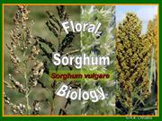 Floral Biology of sorghum