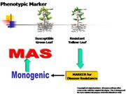 Phenotypic Marker and MAS