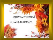 Chrysanthemum Festival Lahr Germany