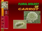 flower structure of carrot