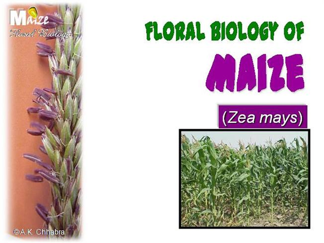 Flower structure of maize authorstream ccuart Choice Image
