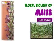Flower structure of maize