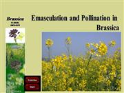 Emasculation Pollination Brassica part 2