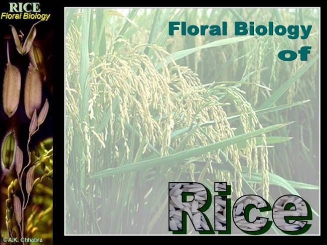 Flower Structure of Rice |authorSTREAM