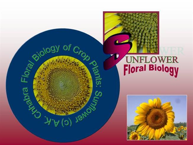 Flower structure of sunflower authorstream ccuart Images