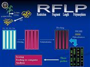 RESTRICTION FRAGMENT LENGTH POLYMORPHISM (RFLP)