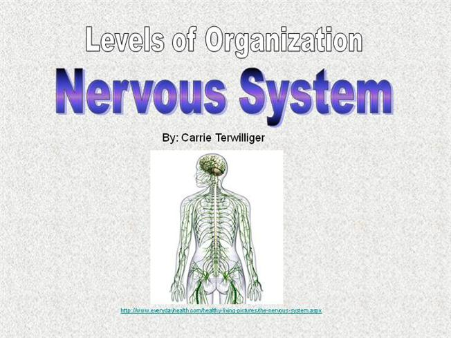 Human Anatomy Levels Of Organization Nervous System Authorstream