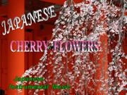 Japanese_Cherry_Flowers-Jair(Fv)