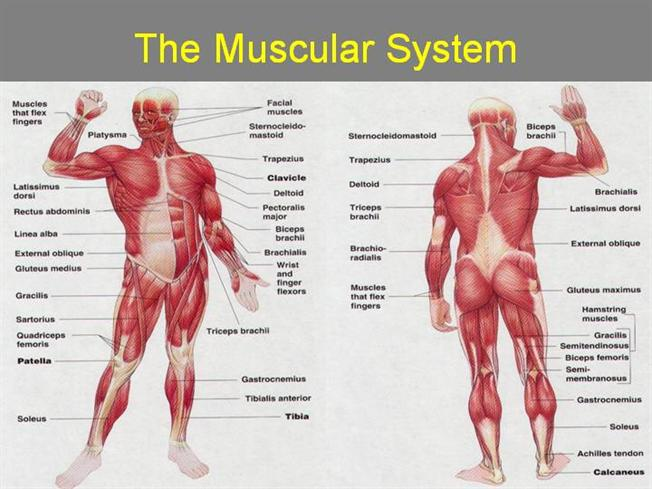 muscular system |authorstream, Muscles