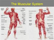 muscular_system_powerpoint