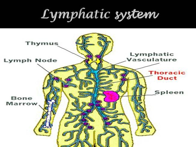 Lymphatic System Authorstream