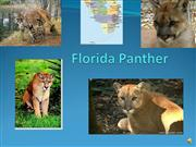 Florida Panther/Angelica